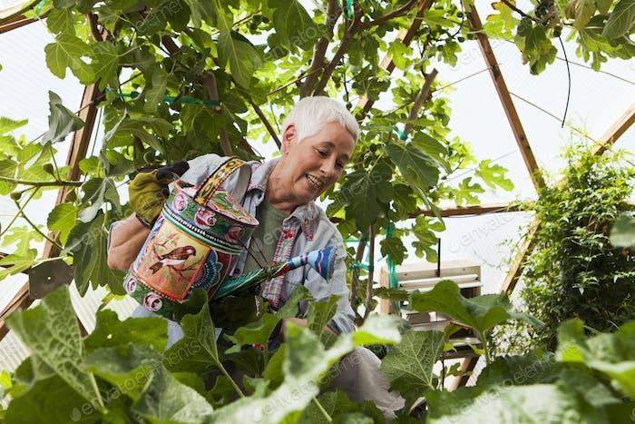 Lächelnde Seniorin Gartenarbeit in einer geodätischen Kuppel, klimaregelte Glashaus