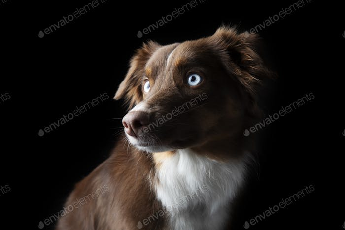 Beautiful Red Tri Aussie with Blue Eyes