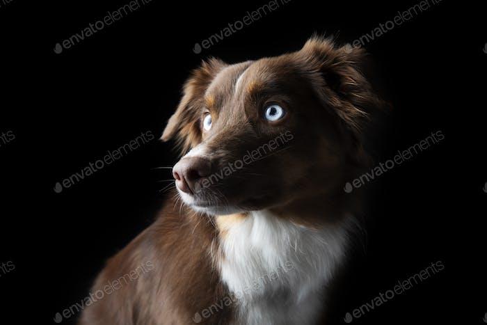 Schöne rote Tri Aussie mit blauen Augen