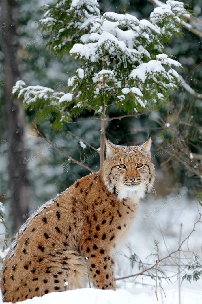 Lynx in winter day