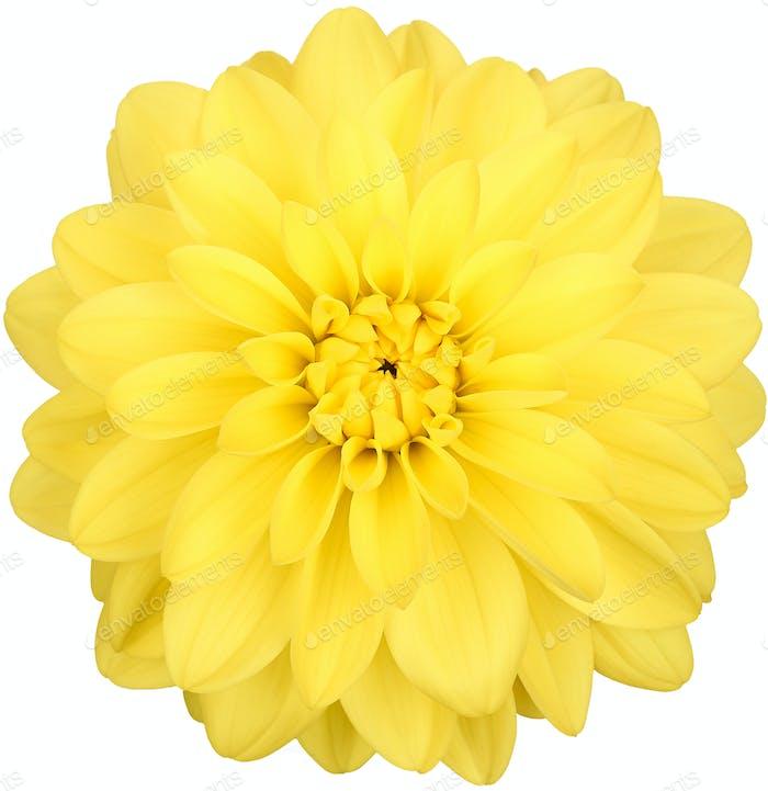 Flor de Dahlia de color amarillo, Estudio de disparo