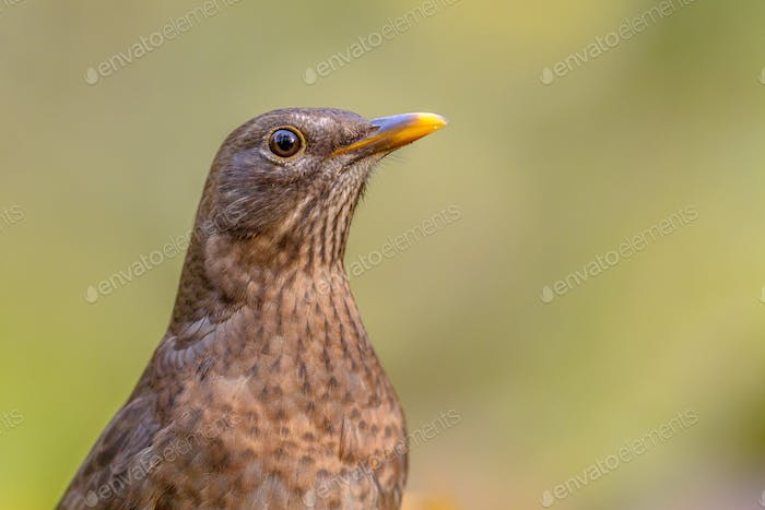 Female blackbird headshot green background