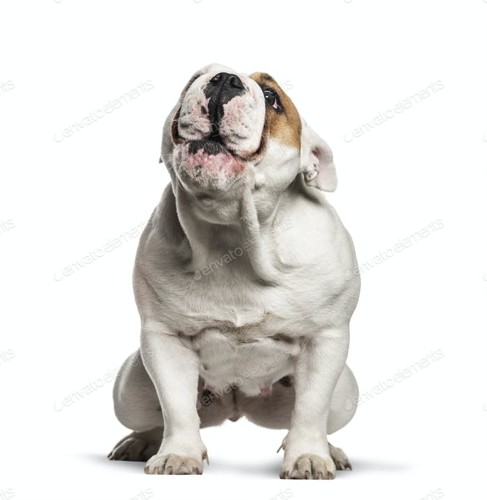 English Bulldog, 10 months old, sitting in front of white background
