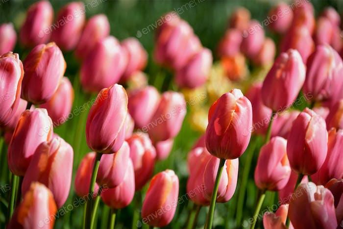 Thumbnail for Blooming tulips flowerbed in Keukenhof flower garden, Netherland