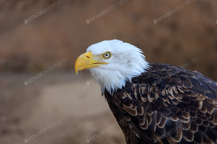 Thumbnail for american bald eagle (haliaeetus leucocephalus)
