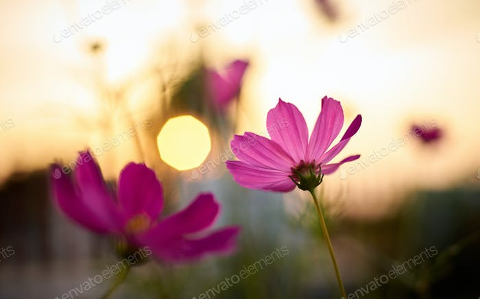 Pink cosmos flower with sunset