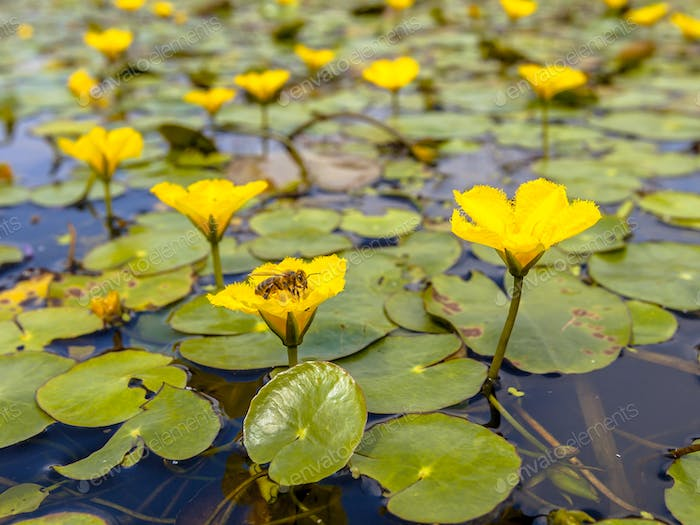 Fringed Water lily with bee