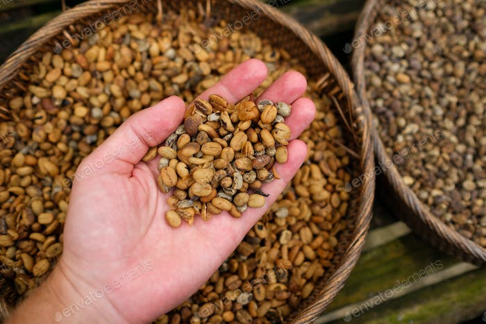 Background of coffee luwak beans