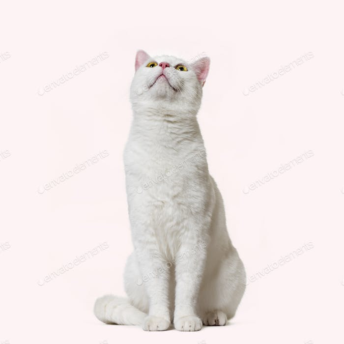 White mixed-breed cat looking up (2 years old), pink background