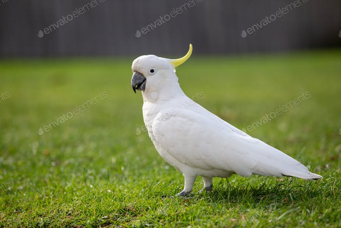 Cockatoo walking on grass