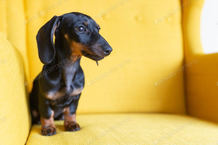 Adorable puppy of dachshund