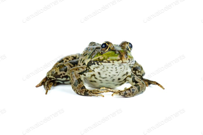 Common green frog isolated on white background