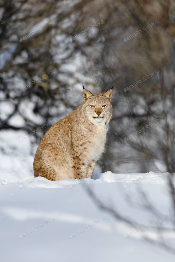 Portrait of alert wild cat sitting on snow in nature