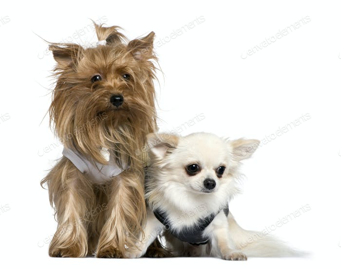 Yorkshire Terrier and Chihuahua, 3 years and 18 months old, sitting in front of white background