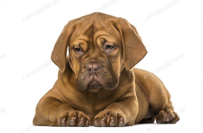 Dogue de Bordeaux Welpe