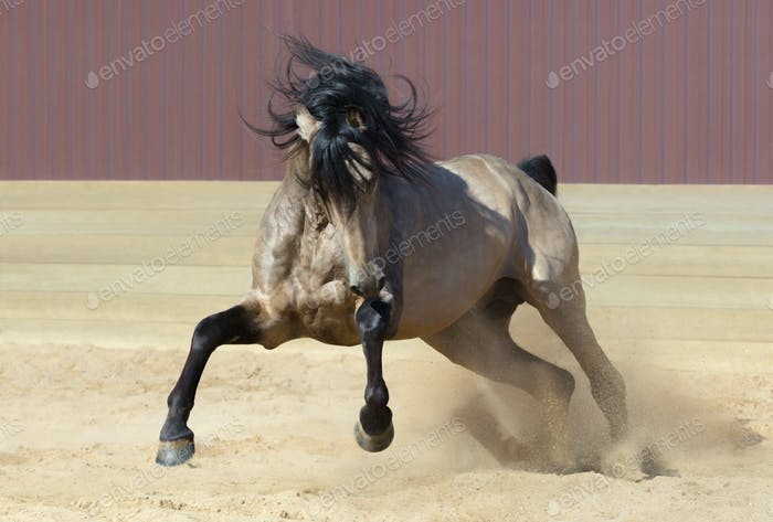 Andalusian horse playing on sand.
