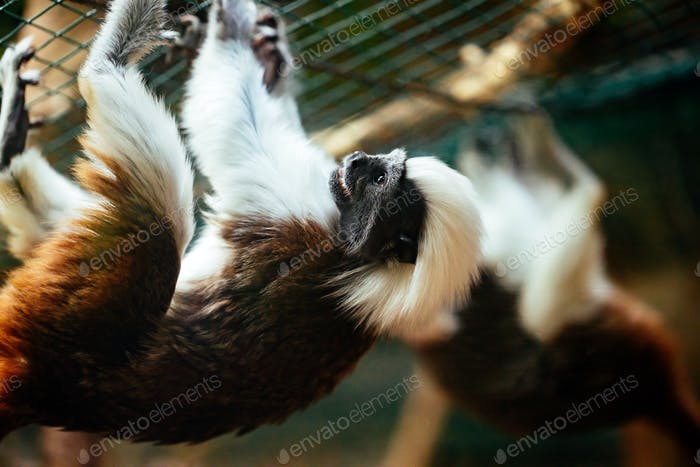 Cotton-top tamarin little monkeys that are very agile
