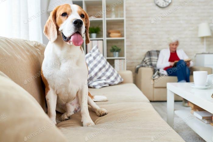 Beagle Hund entspannend auf Couch