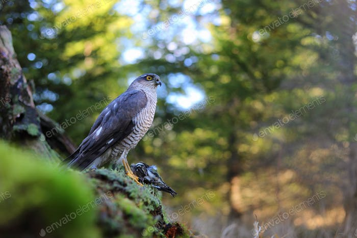 eurasian sparrowhawk sitting on rocks in summer nature