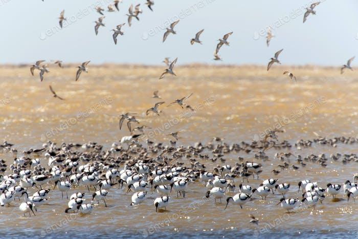 Pied Avocet, Namibia