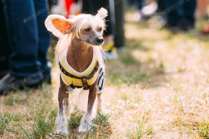 Chinese Crested Dog Outdoors On Green Grass. Hairless Breed of D