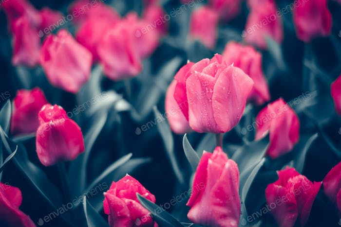 Tulip. Beautiful pink tulips flowers in spring garden, floral ba