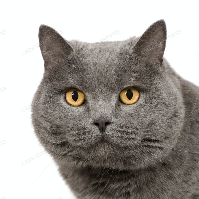 Chartreux (7 years)