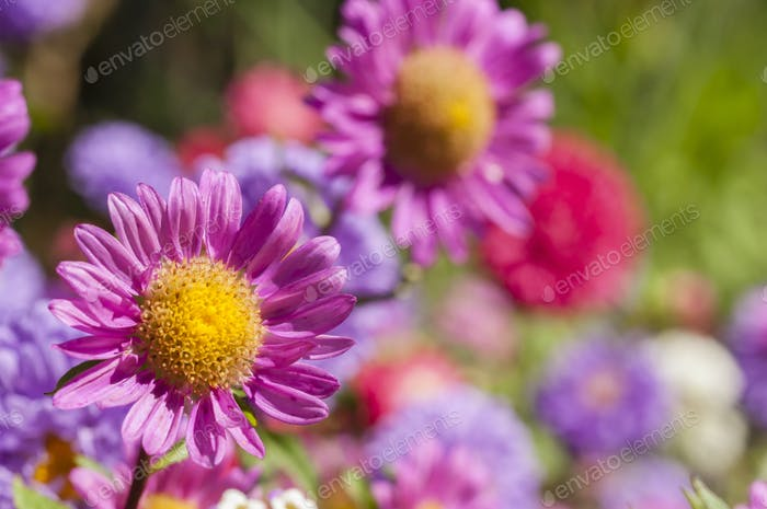 Colorful garden flowers