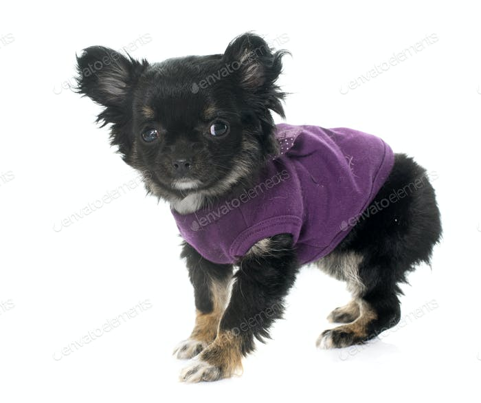 dressed puppy chihuahua