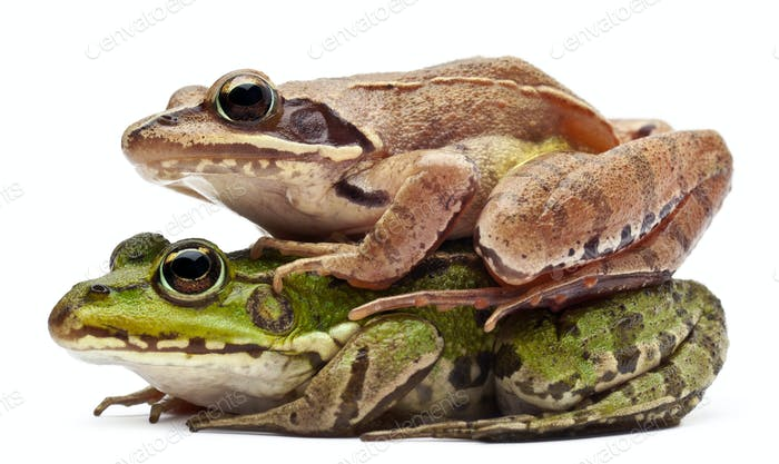 Common European frog and a Moor Frog