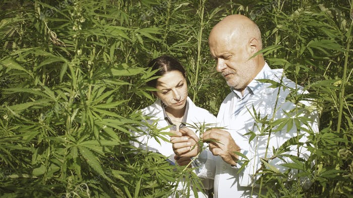 Experte Forscher prüfen Hanfpflanzen in einem Feld