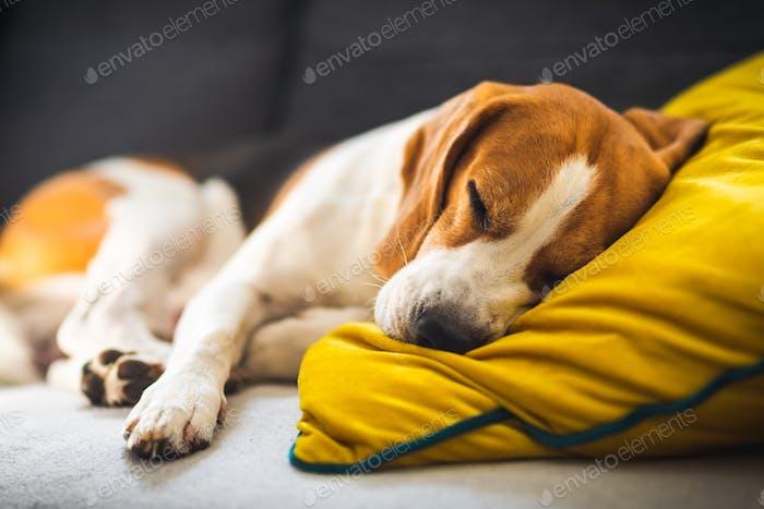 Lustige Beagle Hund müde schläft auf einem gemütlichen Sofa, Couch, auf gelbem Kissen
