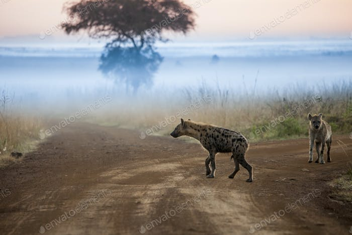 Hyenas before dawn