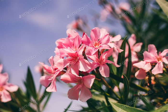 Pink flowers, green leaves and blue sky summer colorful background
