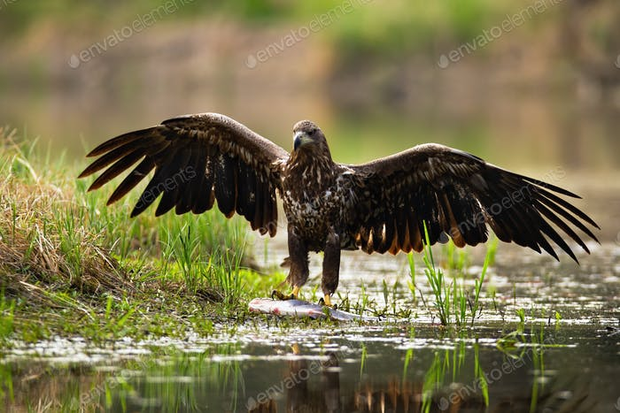 Majestic white-tailed eagle landing with spoil on the shore