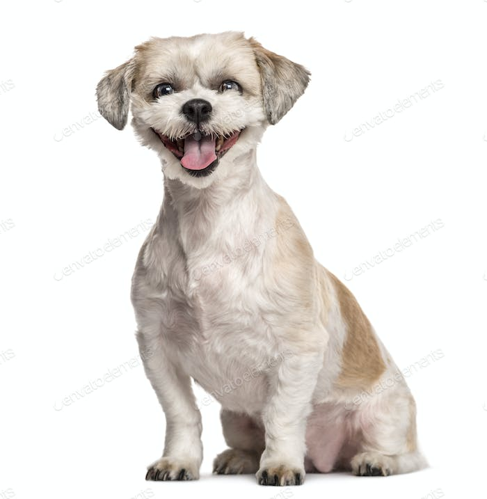 Shih Tzu sitting and smiling in front of a white background