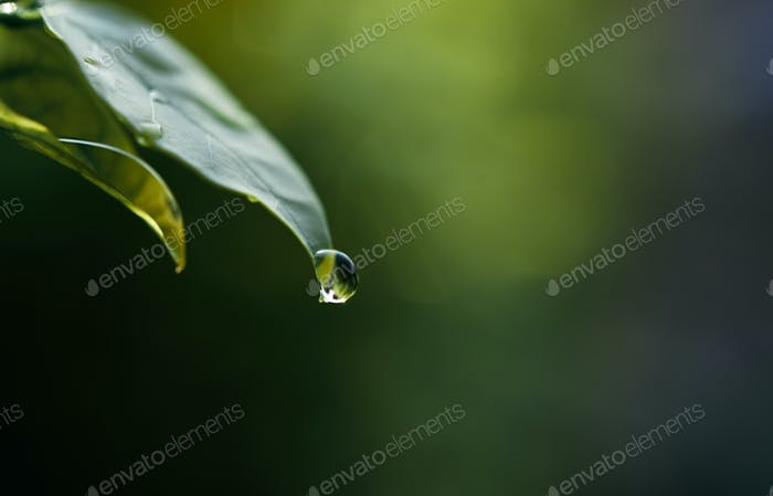 Drops of water at the tip of the leaves