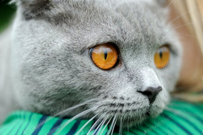 Close gray cat portrait