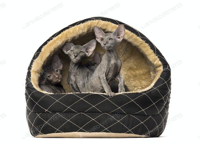 Peterbald in a pet basket