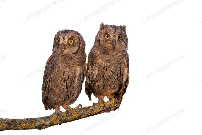 Eurasian scops owl chicks sitting on branch isolated on white background