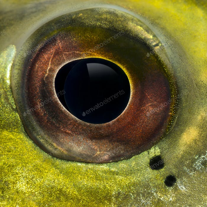 Close-up of a fresh water aquarium fish's eye