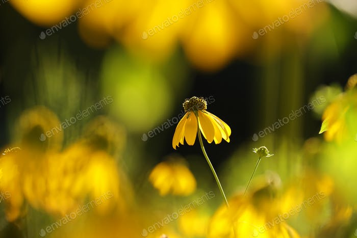 Cutleaf Coneflower in the morning