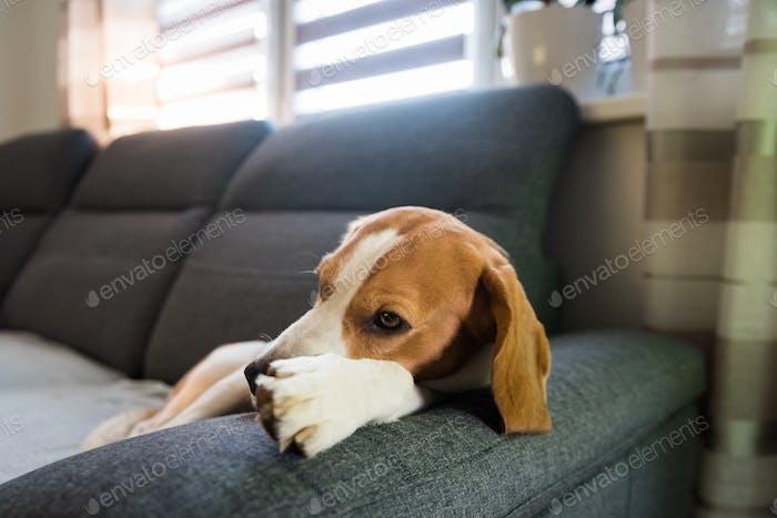 Sleeping beagle dog on sofa. Lazy day on couch