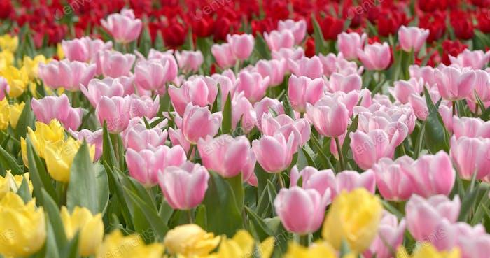 Beautiful colorful tulip farm