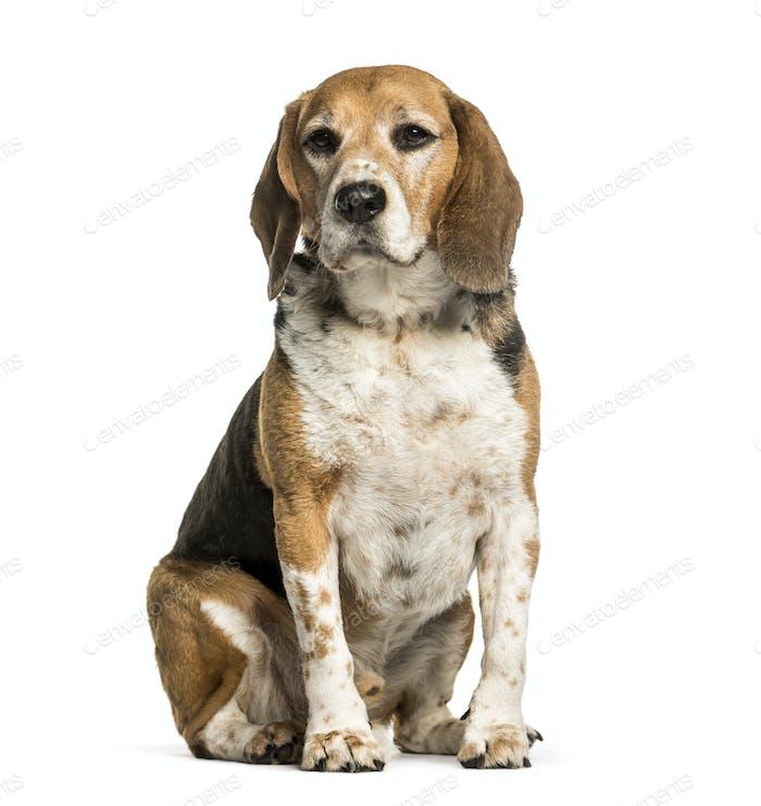 Beagle sitzt vor weißem Hintergrund