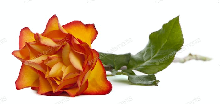 Rose Marie-Claire in front of white background
