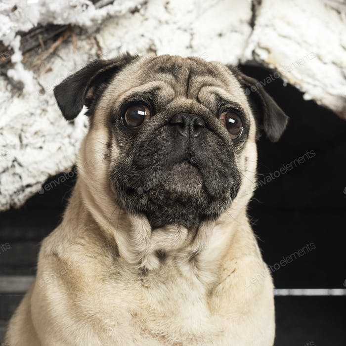Close up of a pug in front of Christmas nativity scene with Christmas tree and snow