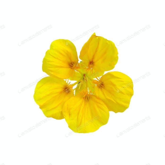 Nasturtium yellow one