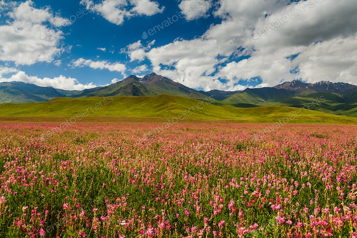Field with flowers in mountain valley. Summer landscape during sunset