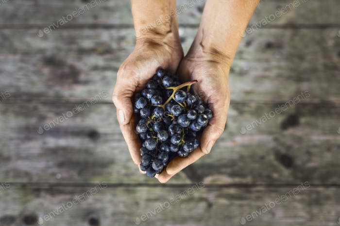 Cupped hands holding red grapes